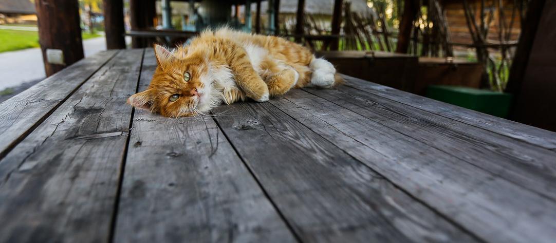 можно ли вылечить коронавирус у кошки